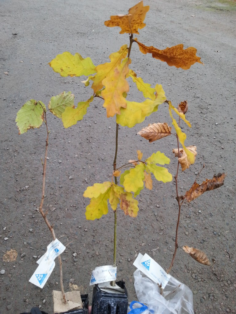 Certifierade tryffelplantor